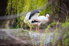 White stork nesting. The white stork, Ciconia ciconia, is a large bird in the stork family Ciconiidae. Its plumage is mainly white, with black on its wings royalty free stock image