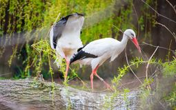 White stork nesting. The white stork, Ciconia ciconia, is a large bird in the stork family Ciconiidae. Its plumage is mainly white, with black on its wings stock photography