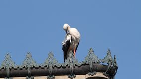 White Stork Ciconia ciconia. A White Stork Ciconia ciconia upon a roof top, cleaning his feathers stock video footage