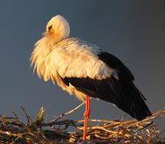 White Stork Or Ciconia Ciconia. Standing in nest on top of a church in Faro Portugal royalty free stock photo