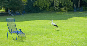White stork (Ciconia ) in the summer park Royalty Free Stock Photos