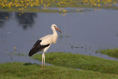 White stork Ciconia on the swamp Royalty Free Stock Photo