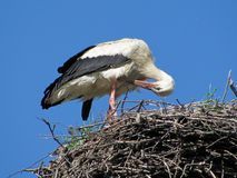 White stork cleaning itself. On its nest Stock Photos