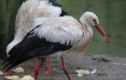 White Stork close Royalty Free Stock Photography