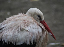 White Stork close Stock Images