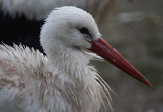 White Stork close Royalty Free Stock Photo