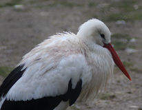 White Stork close Stock Image