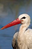White Stork close up. A white Stork close up Stock Photography
