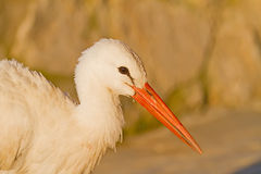 White Stork Close-Up Royalty Free Stock Photos