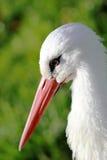 White stork close-up Royalty Free Stock Photos