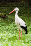 White Stork. Close Up standing in the meadows Stock Photography