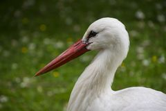 White stork closeup in park in the meadow.  royalty free stock photography