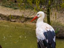 White stork in closeup standing at the water side, common bird of Europe royalty free stock photography