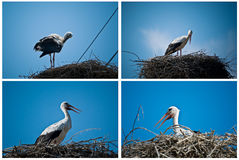 White Stork collage. White Stork (Ciconia ciconia) in nest - collage Stock Photos