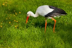 White stork conceptual bird looking something in the grass. Shot made in reservation Askania Nova, Ukraint royalty free stock photo