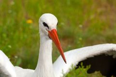 White stork conceptual bird portrait closeup. Reservation Askani. White stork conceptual bird portrait closeup. Reservation national park Askania Nova, Ukraine Royalty Free Stock Images
