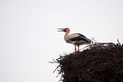 White stork. The white stork costs in a big nest from rods against the blue sky Stock Photo