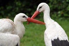 White Stork Couple Royalty Free Stock Photography