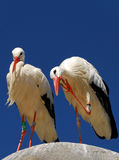 White Stork Couple. A couple of white storks, one of them doing a hello sign Royalty Free Stock Photos