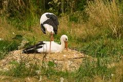 White stork couple Stock Image