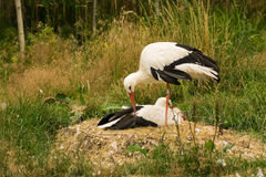 White stork couple. A white stork couple incubating eggs in their nest Royalty Free Stock Image