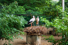 White stork couple on the nest Stock Photos