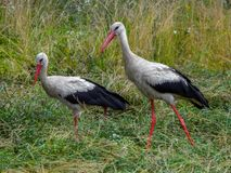 Stork couple stock images