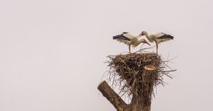 White stork couple standing together in their nest, common bird in europe, Migrated birds from Africa. A white stork couple standing together in their nest royalty free stock photography