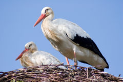 White stork couple at their nest Royalty Free Stock Photo
