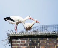 White stork couple in their nest on a chimney Stock Images
