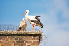 White stork couple in their nest on a chimney Stock Photo