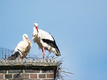 White stork couple in their nest on a chimney Royalty Free Stock Image