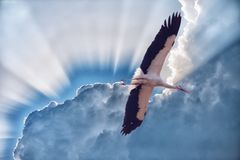 White stork with developed wings in the sky. Against clouds and sunshine Stock Images