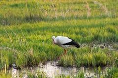 White stork eating in swamp field, spingtime stock images