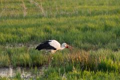 White stork eating in swamp field, spingtime royalty free stock images