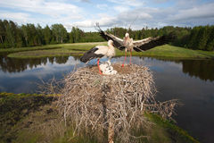 White stork family. In action Royalty Free Stock Image