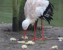 White Stork feeded Royalty Free Stock Image