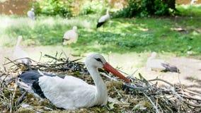 White stork feeding chicks. Close up Stock Photo
