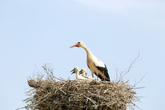 White stork feeding her babies on the nest Stock Image