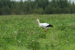White stork feeding outdoors on clover summer meadow Stock Images