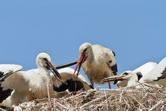 White stork feeding youngsters Stock Photo
