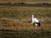 White stork in field Stock Photo