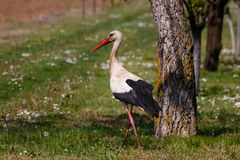 White stork in the field - European stork near the tree royalty free stock photos