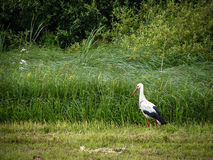 White stork in a field. stock photography