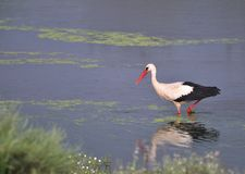 White stork fishing Stock Image
