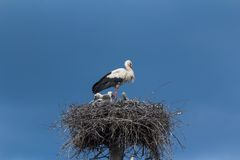 White Stork with fledglings on a nest Royalty Free Stock Images