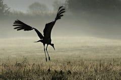 White stork. Flies in the morning mist Stock Image