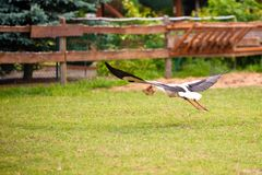 Flying stork over meadow. White stork flies over a grassy area with a wooden fence and greenery in the background Royalty Free Stock Photography