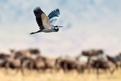 A white stork flies over the savanna Royalty Free Stock Images
