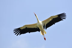 White stork in flight Royalty Free Stock Images
